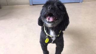 Jack, A 5 Year Old Miniature Poodle/shih Tzu Mix Available For Adoption At The Wisconsin Humane Soci