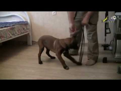 how-to-leash-train-a-puppy