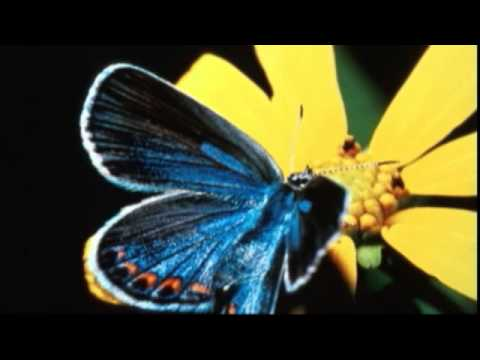 Endangered butterfly recovering in some, not a