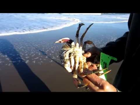 how to eat dungeness crab video