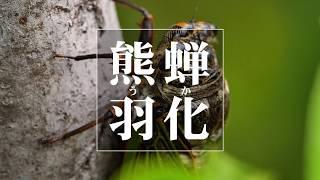 蝉の羽化。 滅多に見ることのできない映像です。 生命の力を感じる映像...
