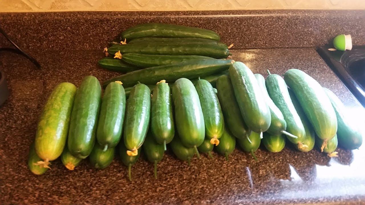 cucumber harvest no 2 june 5th backyard hydroponics system