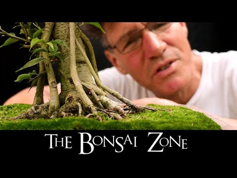 The Bonsai Zone, Ribbon Roots and More, Sept, 2017