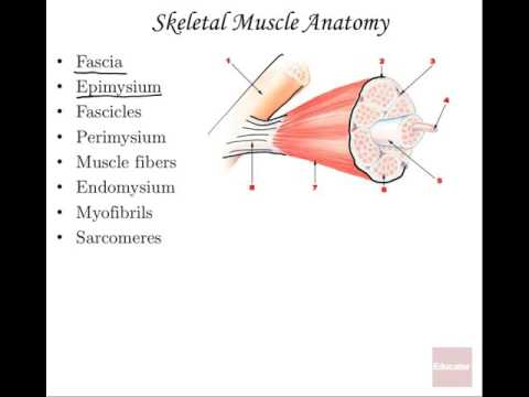 08 Muscular System Anatomy and Physiology - YouTube