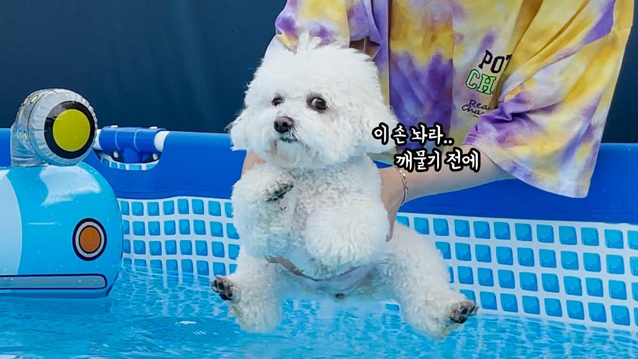 수영이 오지게 하기 싫은 강아지