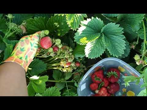 ЧАМОРА ТУРУСИ. Поздний сорт клубники с гигантской ягодой.