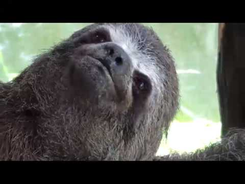 Our pet baby sloth - YouTube