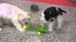 Mega-coated Miniature Schnauzer Puppies For Sale