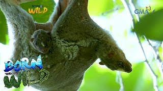 Born to Be Wild: Close encounter with  flying lemurs