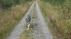 Juoksukilpailu koirasusi vs kääpiösnautserit