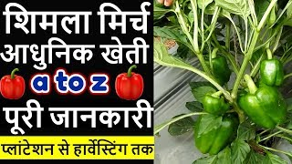 आधुनिक शिमला मिर्च की फायदेमंद खेती 🔥Smart Capsicum Farming in India hindi, Shimla mirch kheti