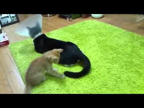 kitten-won't-stop-playing-with-cat's-tail