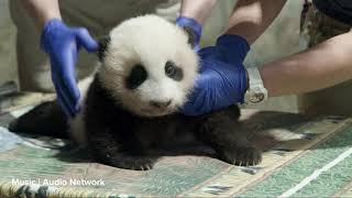 Giant Panda Cub Third Vet Exam: Nov. 18, 2020