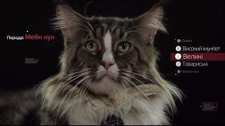 Мейн Кун ➠ Узнайте все о породе кошек