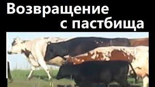 Возвращение с пастпища Коровы. Life cows. Life in Russia. Жизнь в деревне.