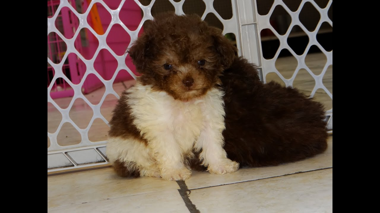Toy Poodle Puppies Dogs For Sale In Virginia Beach