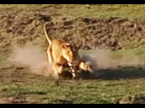 Lion Kills Crocodile And Then Doesn't Want To Share - Latest Wildlife Sightings