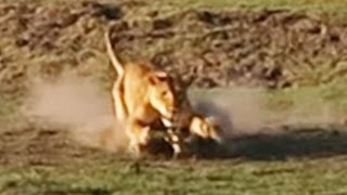 RARE: Lion Kills Crocodile and Then Doesn