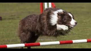 The most incredible dog  Amazing Dog Tricks Video [ Pet Animalia ]