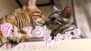 ベンガル猫たちを撮影していたら、偶然にも愛に溢れた映像が撮れましたのでおすそ分けです! 妻ミュウへの愛の形、娘もみじへの愛の形、色々...