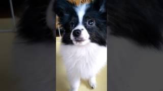 お手をします(≧∇≦)b 全国優良ブリーダーの子犬紹介サイト『みんなのブリ...