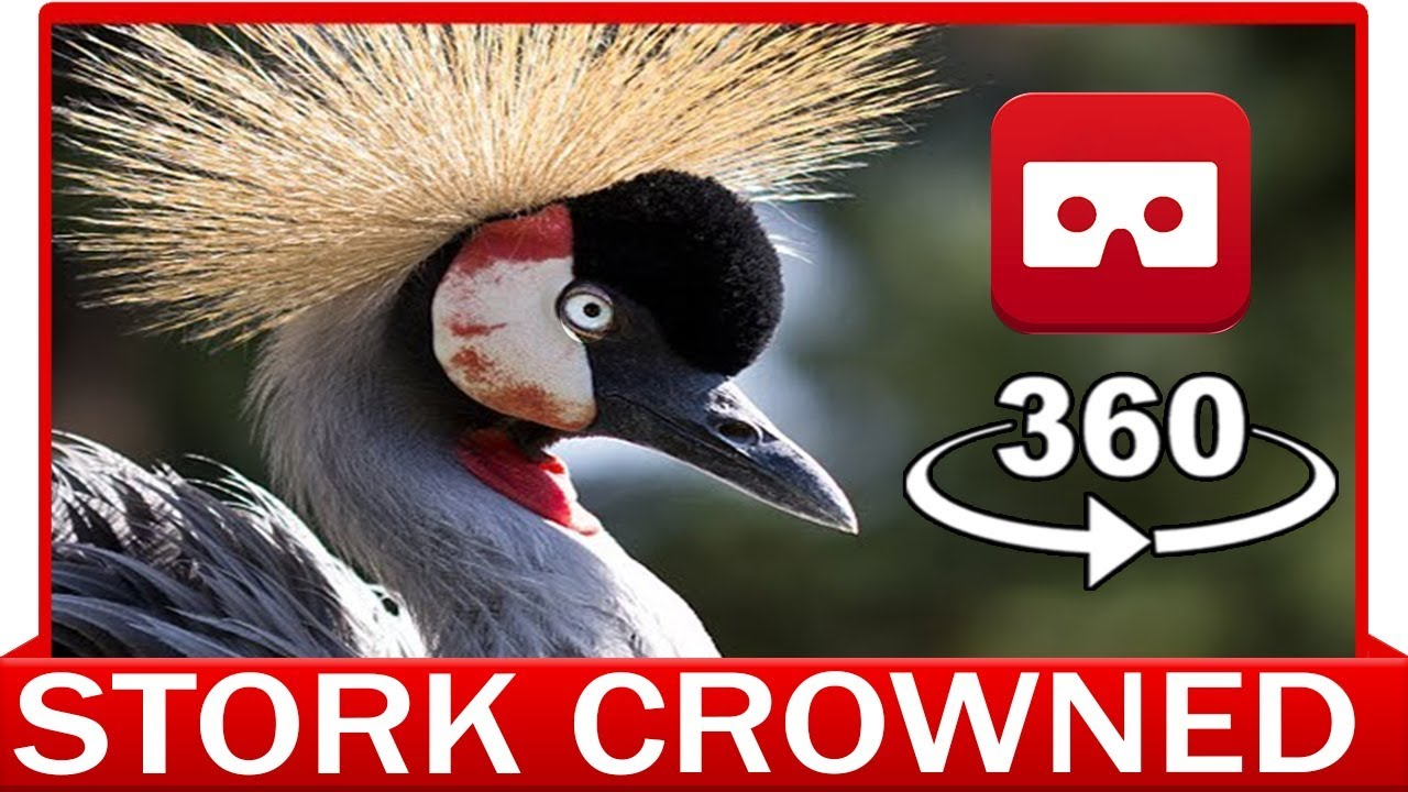360° VR 4k - STORK CROWNED CRANE - DISCOVERY ANIMAL & NATURE - VIRTUAL REALITY 3D