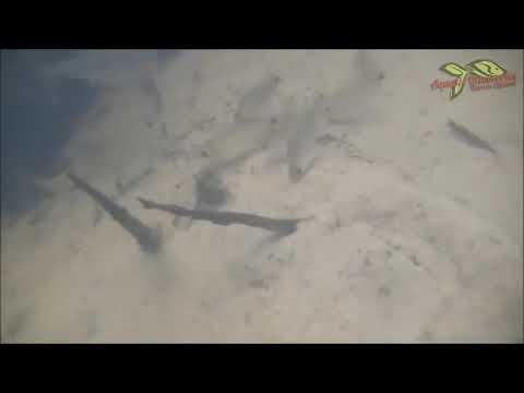 【アクア】南米スリナム川のマニアックな魚たち【字幕】