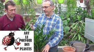 Tuto jardinage: Zamioculcas zamiifolia: Entretien et arrosage: (plante zz)Plante verte d'intérieur