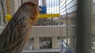 Erkek Kanarya ötüşü, صيد طائر الكناري - eğitim - ders - huylandırma