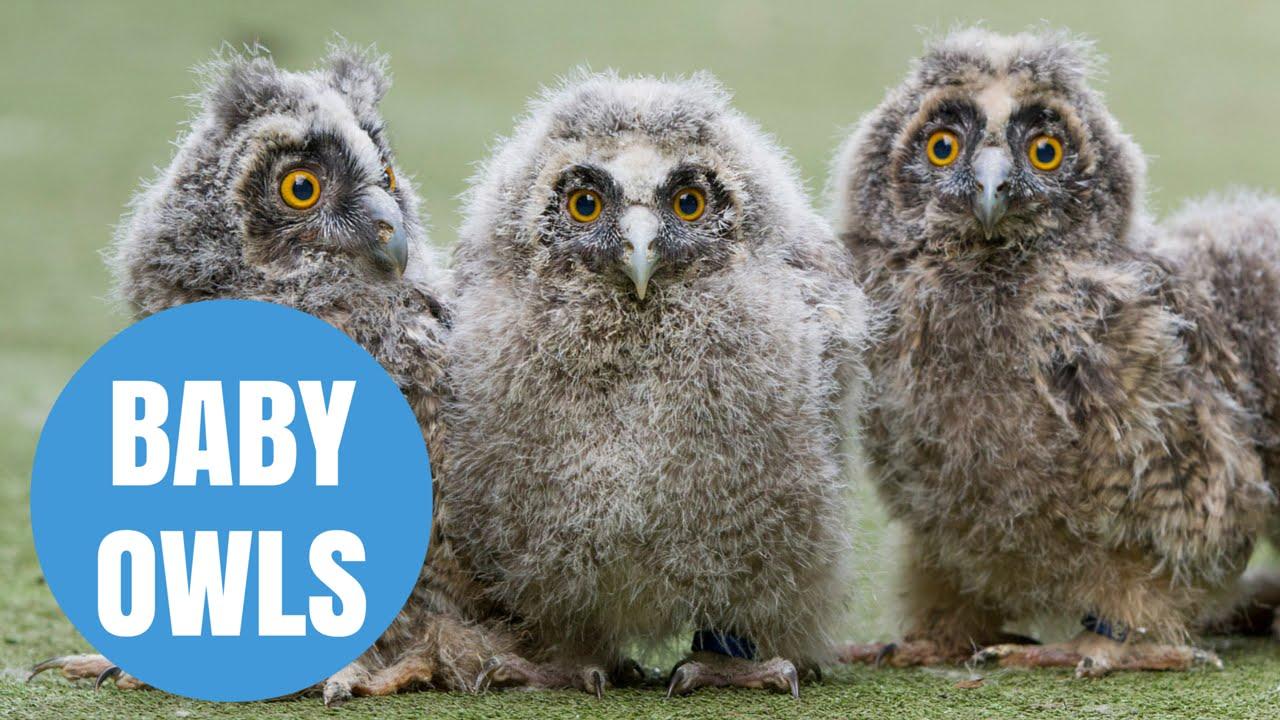 cute long eared owl chicks born in scotland youtube