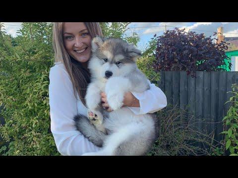 Meet Our New Alaskan Malamute Puppy Cutest Little Fluff Ever Youtube Vanlife campervan vlog (come on holiday with us). meet our new alaskan malamute puppy cutest little fluff ever