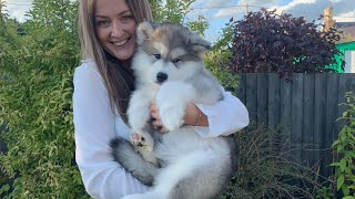 Meet Our New Alaskan Malamute Puppy!! (Cutest Little Fluff EVER!)