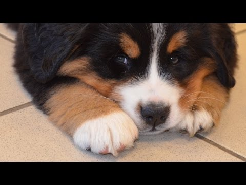 Chiots bouviers bernois 2 mois - YouTube