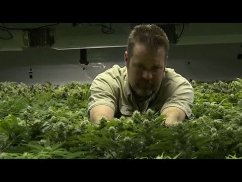 'This Week': Marijuana in Colorado