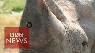 Rhino-cam: An insight from a rhino's point of view - BBC News