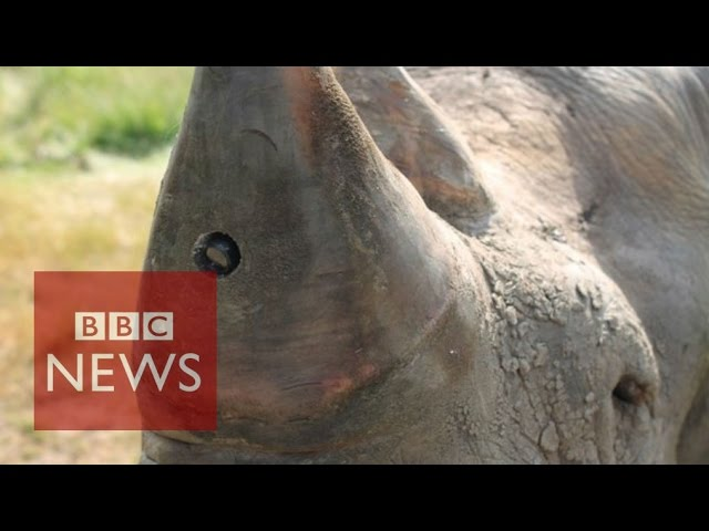 Rhino-cam: An insight from a rhino's point of view – BBC News