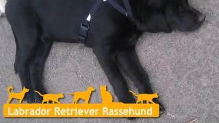 Labrador Retriever Welpen In Bad Orb