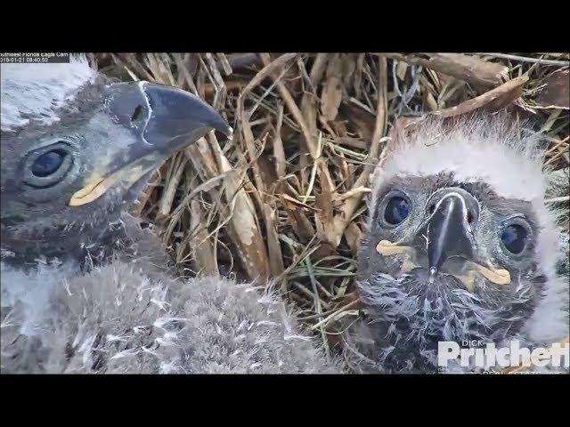 swfl-eagles-e10-e11-cute-babies-25-days-old-1-21-18