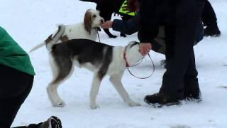 Alaskan Husky Puppy Training