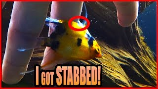 My angelfish STABBED me! Why you need to be careful handling fish!