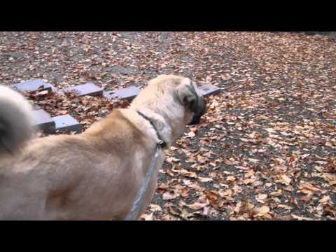 Second Encounter: 8 Months Old Anatolian Shepherd (Kangal) Dog Chasing Bears in West Milford, NJ