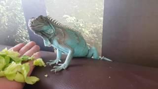 Video Young blue iguana handfeeding 4K 2160P download MP3, 3GP, MP4, WEBM, AVI, FLV Januari 2018