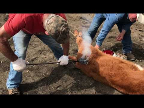 Animal Welfare in the Beef Industry