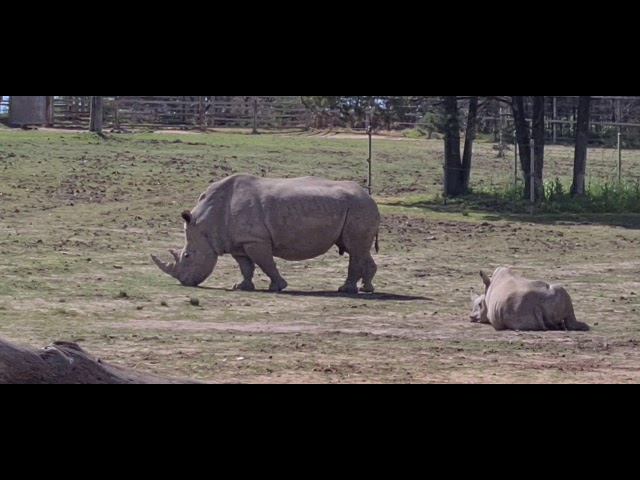 White Rhinoceros Dreaming