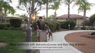 """Dog Training, 4yr Old Pitbull """"volt"""" Transformation: San Diego California Dog Trainers."""