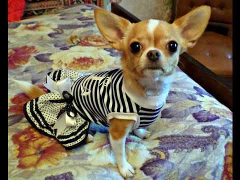 Мини чихуахуа одевается в платье для прогулки \ Mini Chihuahua dressed in a dress for the walkиз YouTube · Длительность: 2 мин58 с  · Просмотры: более 17000 · отправлено: 05.09.2016 · кем отправлено: СУНДУЧОК