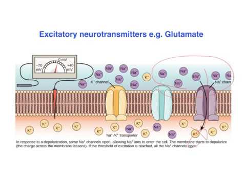 Excitatory vs. inhibitory effects of Neurotransmitters -  VCE Psychology