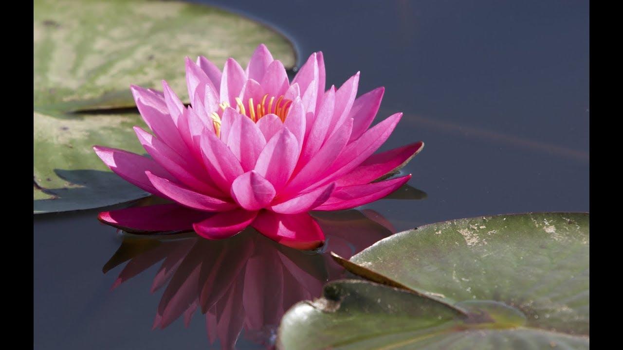 India National Flower Lotus Youtube