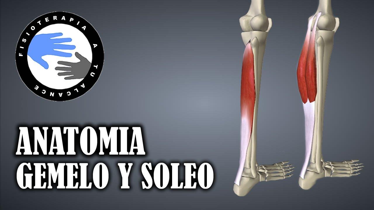 Musculo gemelo y soleo, anatomia del triceps sural - YouTube
