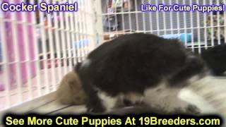 Cocker Spaniel, Puppies, For, Sale, In,omaha ,nebraska, Ne,lincoln, Bellevue, Grand Island,